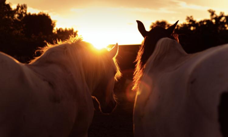 Photographe de chevaux à Lyon